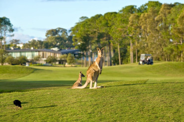 Kangaroos and Cart Paths