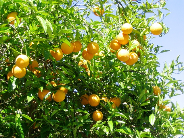 Orange Trees at Almenara Golf, Costa Del Sol