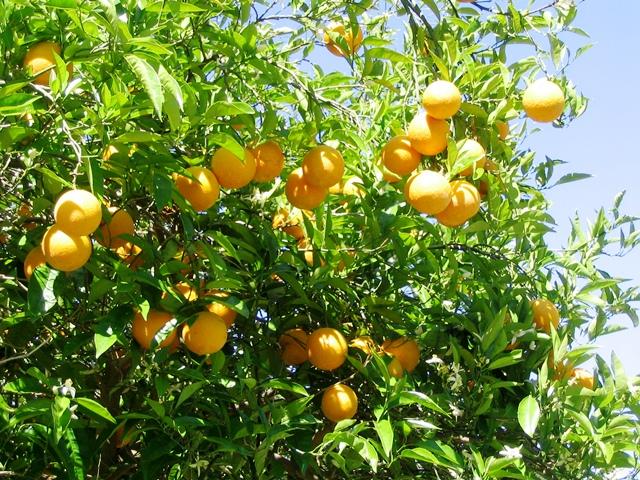 Orange Trees at Almenara Golf, Costa Del Sol
